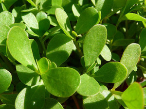 Purslane Plant Superfood